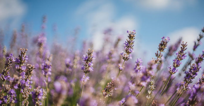 4 benefits and uses of lavender tea and extracts  being dad